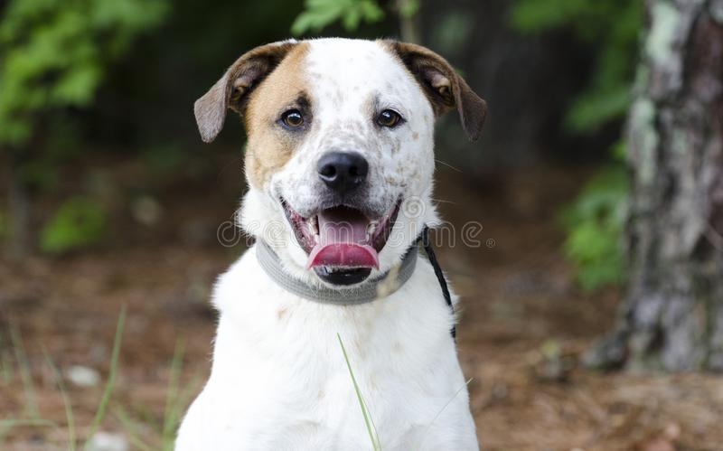 Mutt dog with panting tongue, pet rescue photograph. Young neutered and microchipped male aussie mixed breed dog named Chase surrendered to animal shelter. Pet stock photo