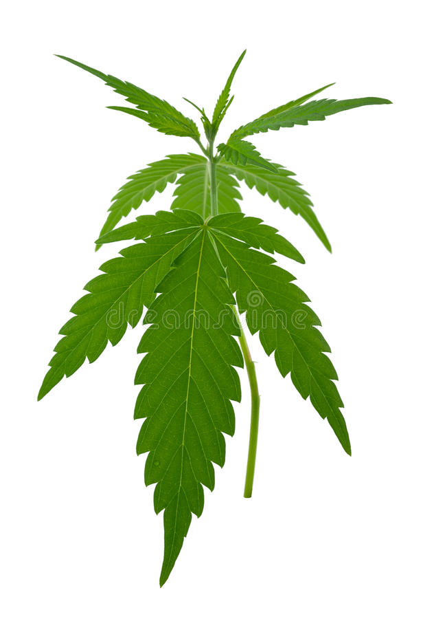 A young new growing cannabis (marijuana) plants. On white background stock photo