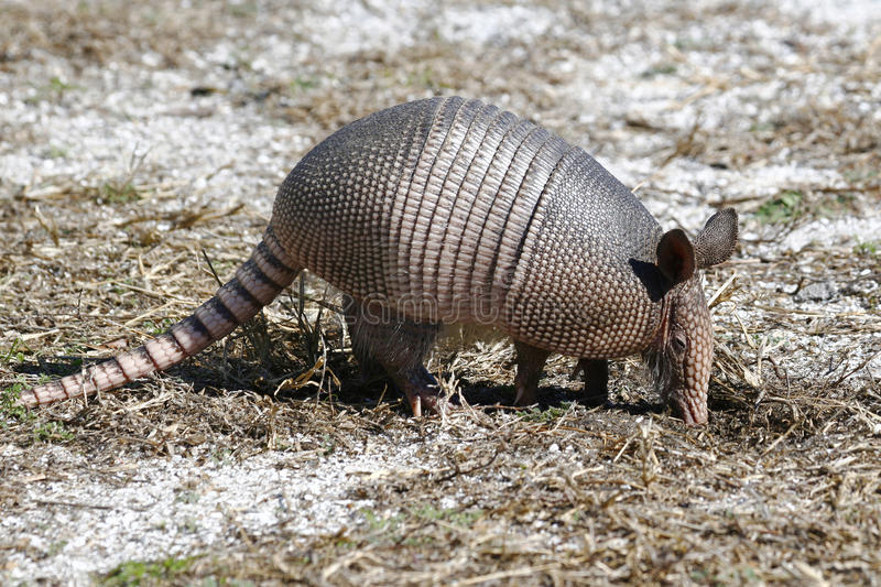 A Young Nine Banded Armadillo. Rooting for insects royalty free stock photos