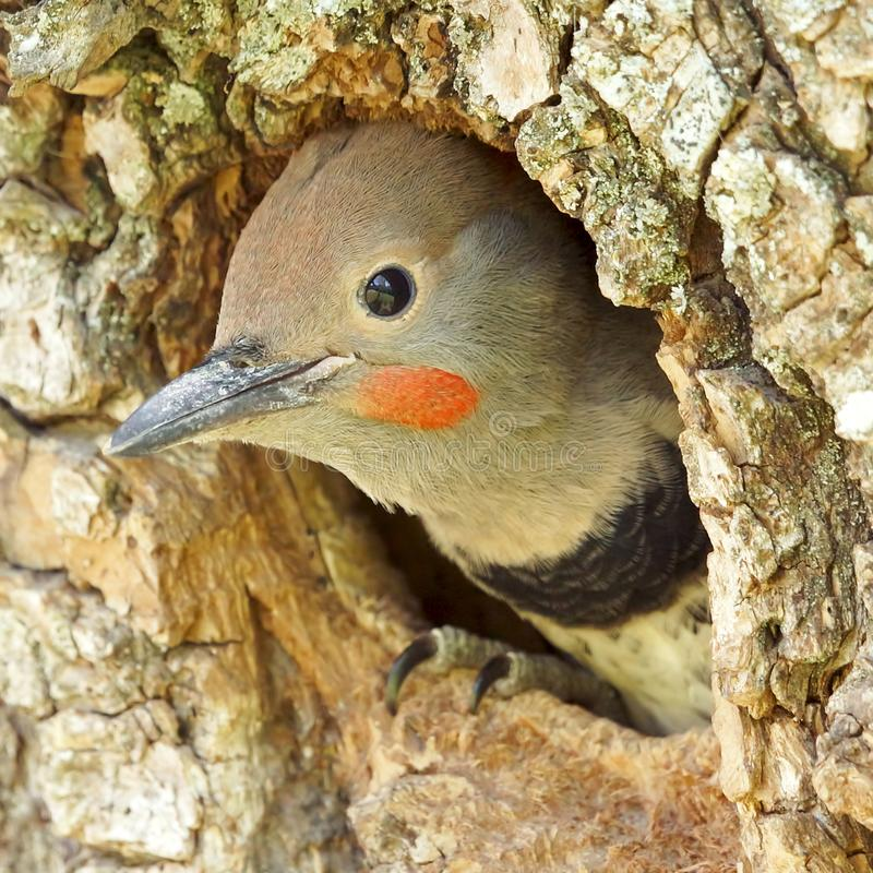 Young Northern Flicker Woodpecker Leaving Home stock image