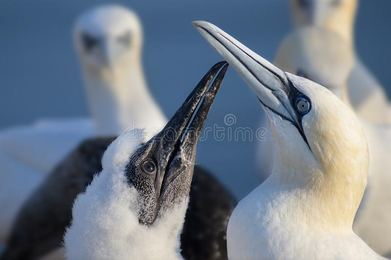 Young northern gannet Morus bassanus begging for food on mother`s beak, the seabirds live on the rocks of the island Heligoland royalty free stock images