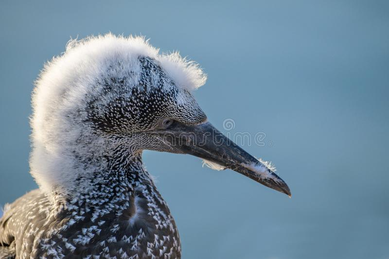 Young northern gannet Morus bassanus portrait with a rest of fluffy feathers on his head, the seabirds live on the rocks of the stock image