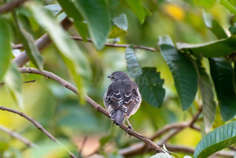 Young Northern Mockingbird Mimus Polyglottos royalty free stock photo