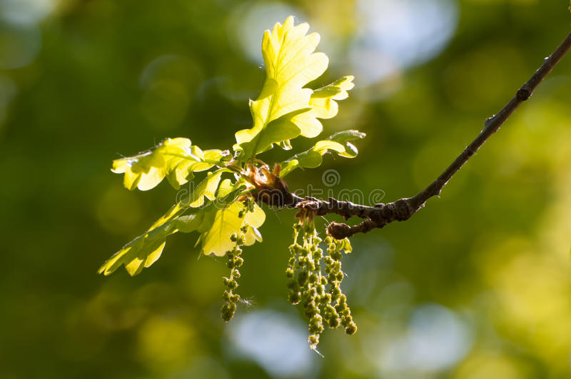 Download Young oak leaves in spring stock photo. Image of lush - 24671910
