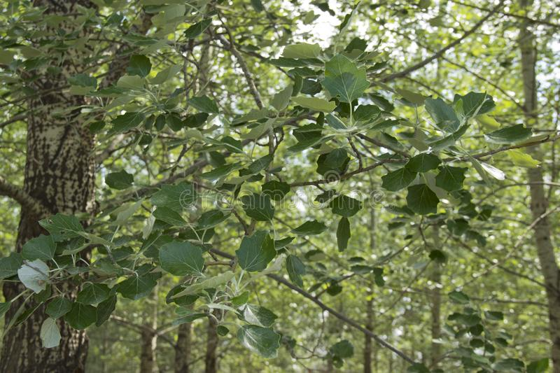 Young oak leaves in the sun.  royalty free stock photography