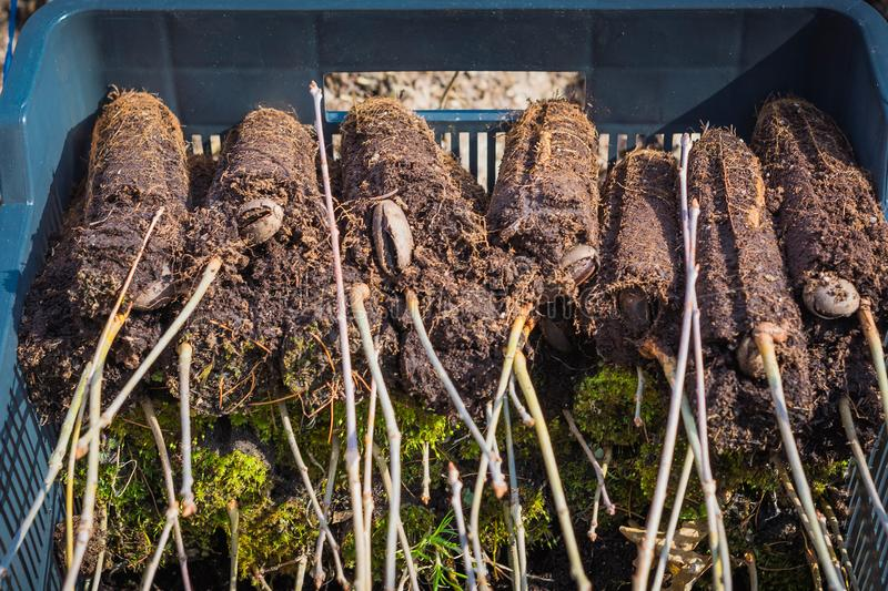 Young oak seedlings in peat are stacked stock photos