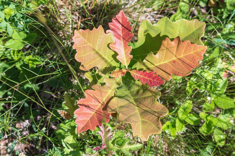 Young oak sprout with colorful red leaves. Little oak tree shoot with fresh saturated glossy foliage among green grass royalty free stock image