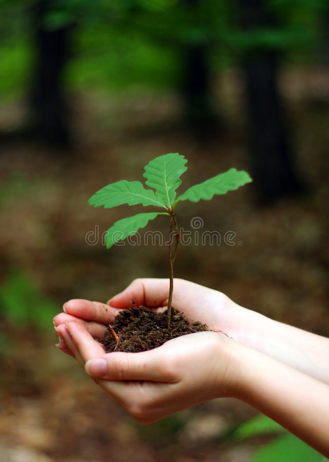 Young oak tree stock photos