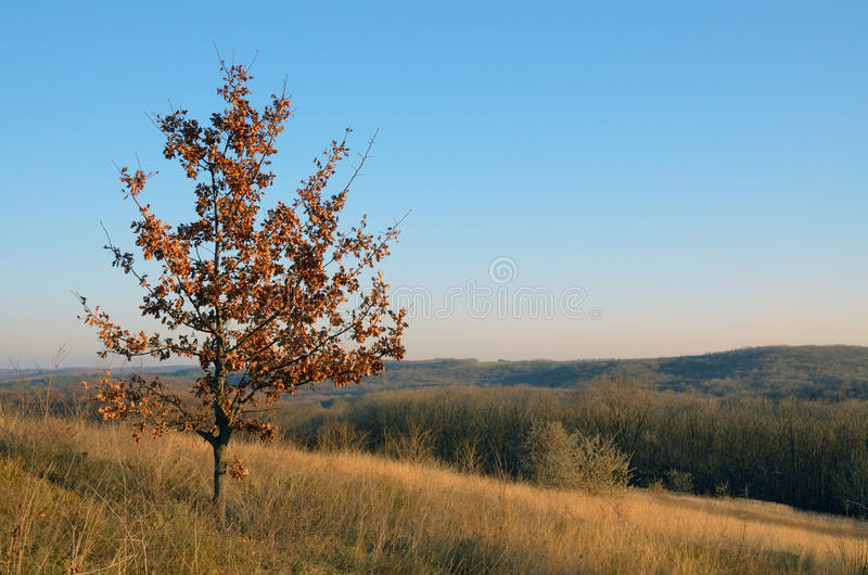 A young oak tree with yellowed leaves in autumn stock photo