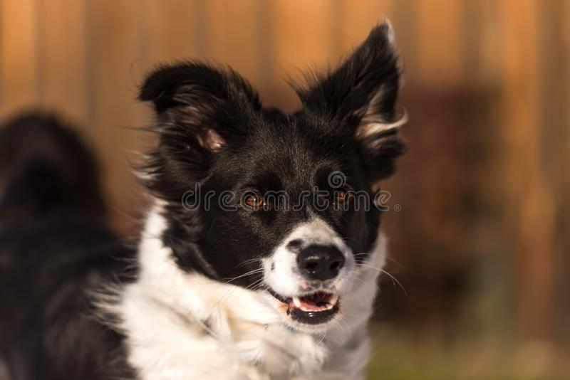Obedient Border collie dog. Head Portrait. Young Obedient Border collie dog. Head Portrait stock photos