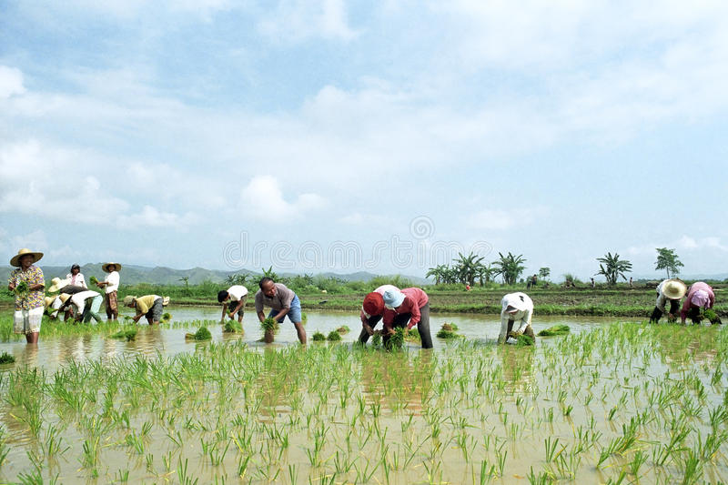 Young and old Filipinos working in a rice field. Philippines, island Luzon, Kalinga province: in the countryside outside Tabuk city working men and women stock images