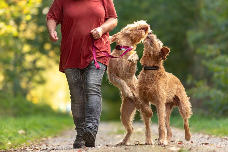 Young and old Magyar Vizsla. female dog handler is walking with her two funny and cheeky dog on the road in a forest. Young and old Magyar Vizsla.  One female stock photos