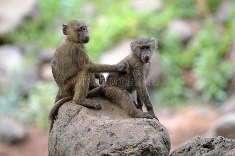 Young olive baboons (Papio Anubis) grooming stock photos
