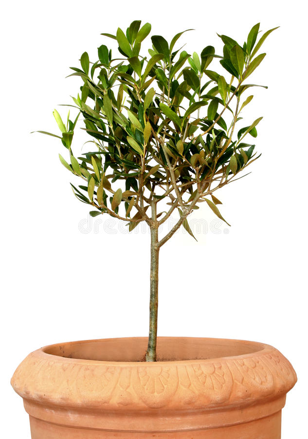 Young olive tree in pot stock image