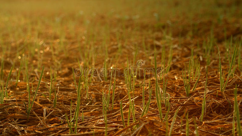 Young onions. Young green onions in field royalty free stock photos