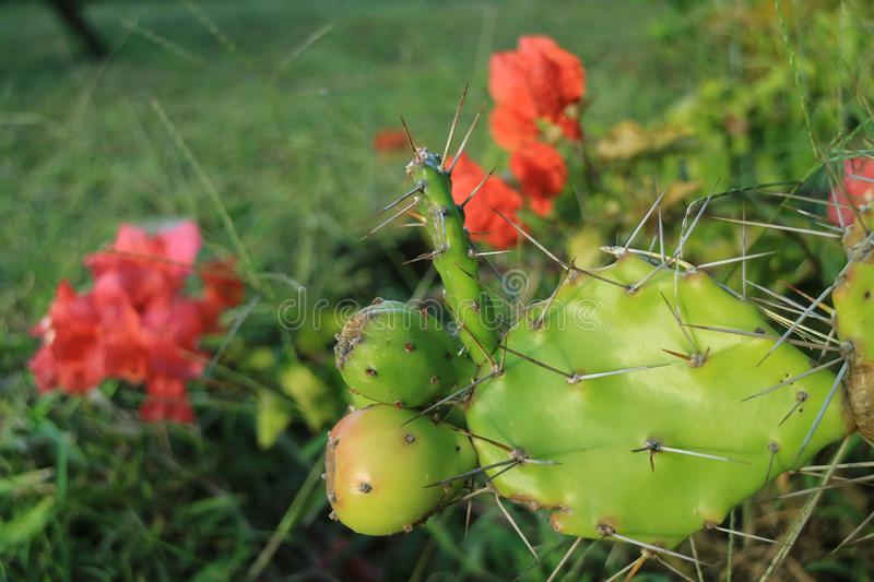 Young Opuntia Cactus Fruits Growing on the Prickly Cactus Plants with Blooming Red Flowers stock photography
