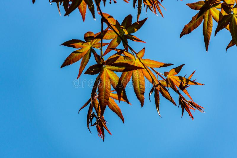 Young orange with red leaves of the Japanese maple Acer Palmatum unfold in early spring. Close-up. Selective focus. Blue sky and sunny day royalty free stock photo
