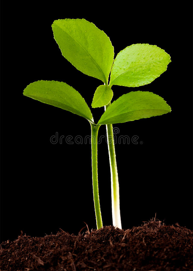 Young orange tree background royalty free stock image