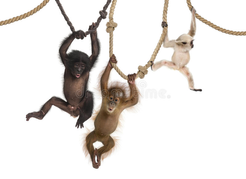 Young Orangutan, young Pileated Gibbon and young Bonobo hanging on ropes. Against white background
