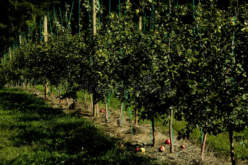 Young Orchard apple farm trees in upstate New York. Growing apple trees in a row and straight line with poles and support of branches stock images