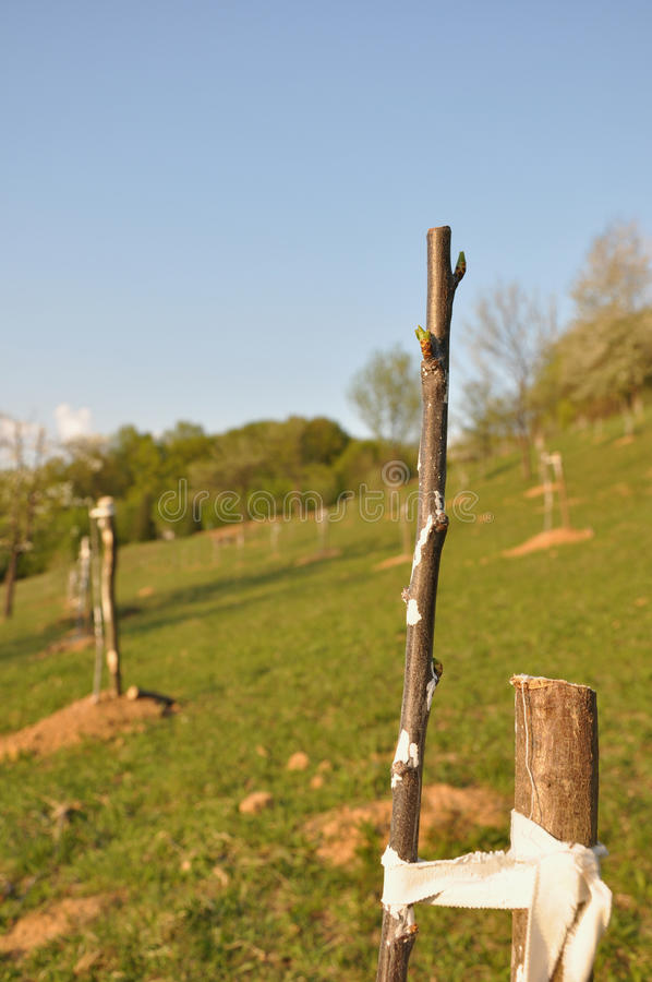 Young orchard royalty free stock photography