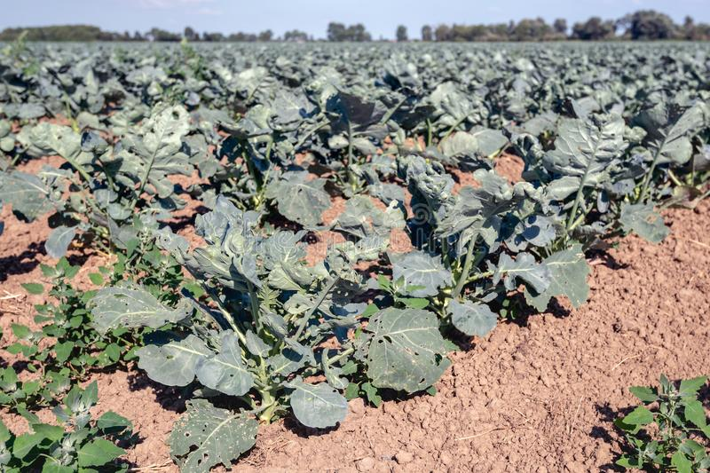 Young organically grown Brussels sprout plants on a sunny day royalty free stock photo