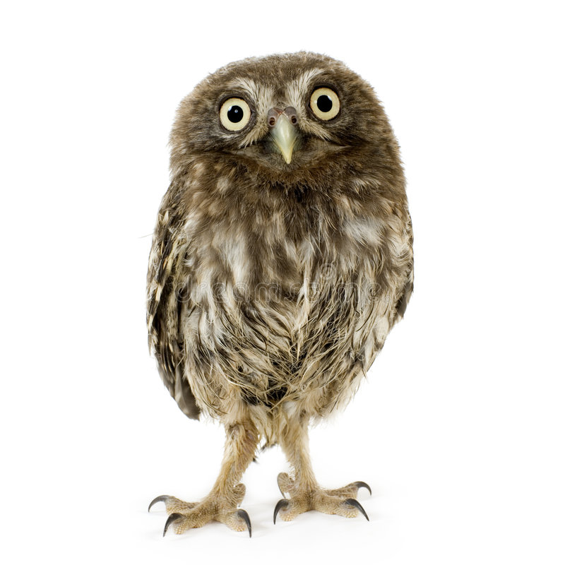 Young owl (4 weeks) royalty free stock images