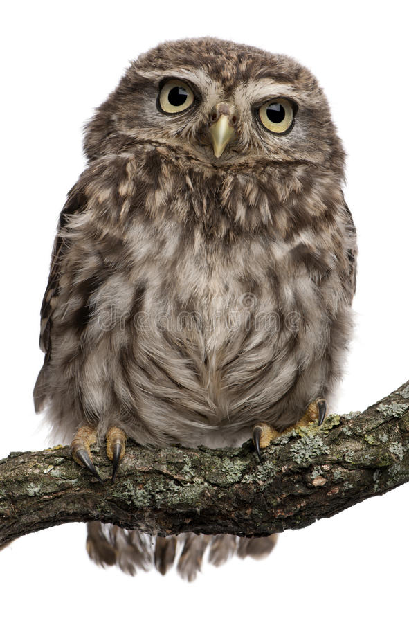 Free Young Owl Perching On Branch Stock Photography - 16713442