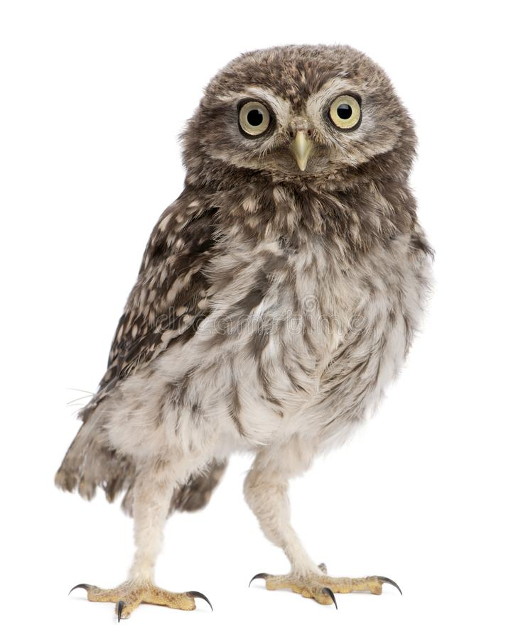 Young owl standing in front of white background royalty free stock images