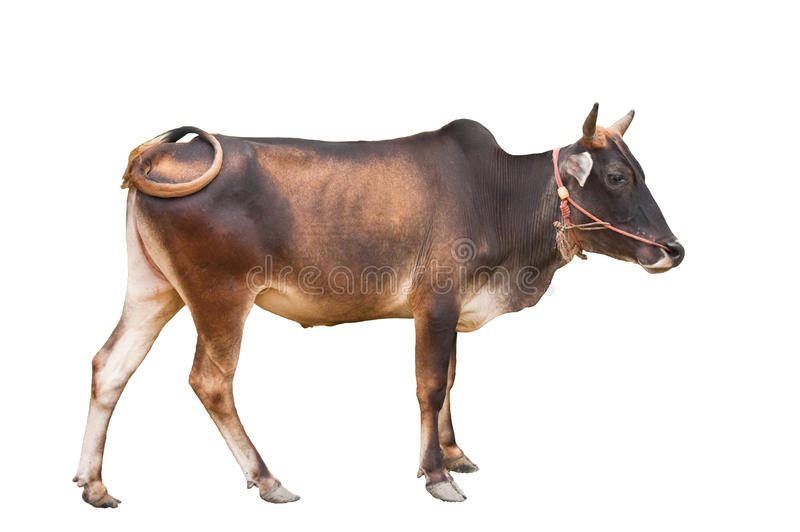 Young ox standing royalty free stock photo