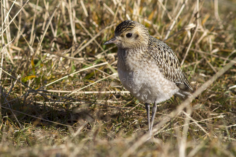 Young Pacific Golden Plover autumn day in the grass on Bering. Island stock photo