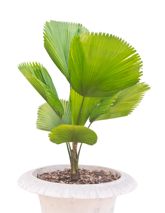 Young palm tree royalty free stock photo