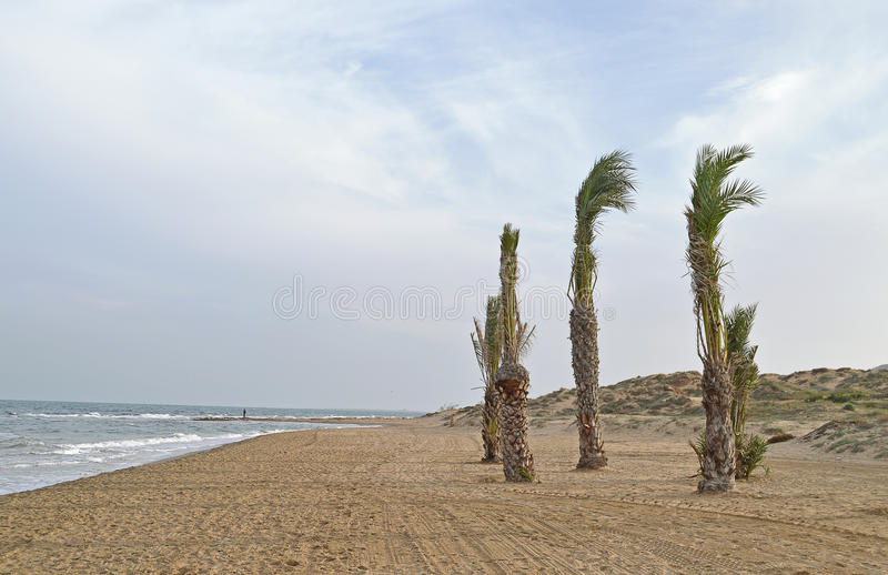 Young Palm Trees In The Wind royalty free stock image