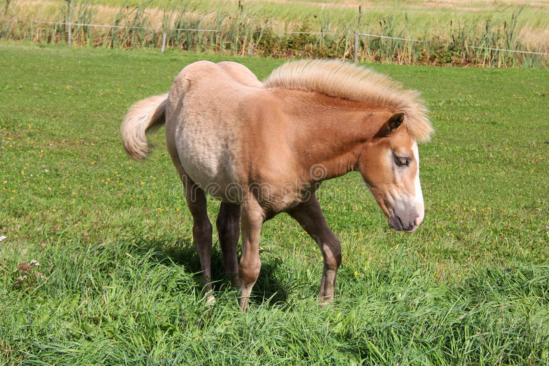 Download Young Palomino Filly stock image. Image of breed, countryside - 26466707