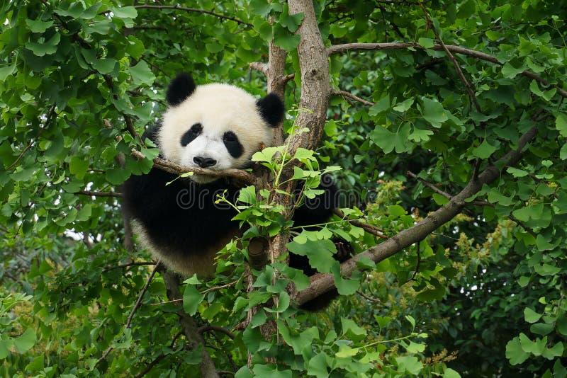 Young panda waiting in a tree. Young panda climbing in a tree stock photo