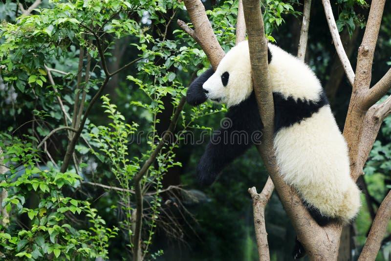 Young panda waiting in a tree. Young panda climbing in a tree royalty free stock photo