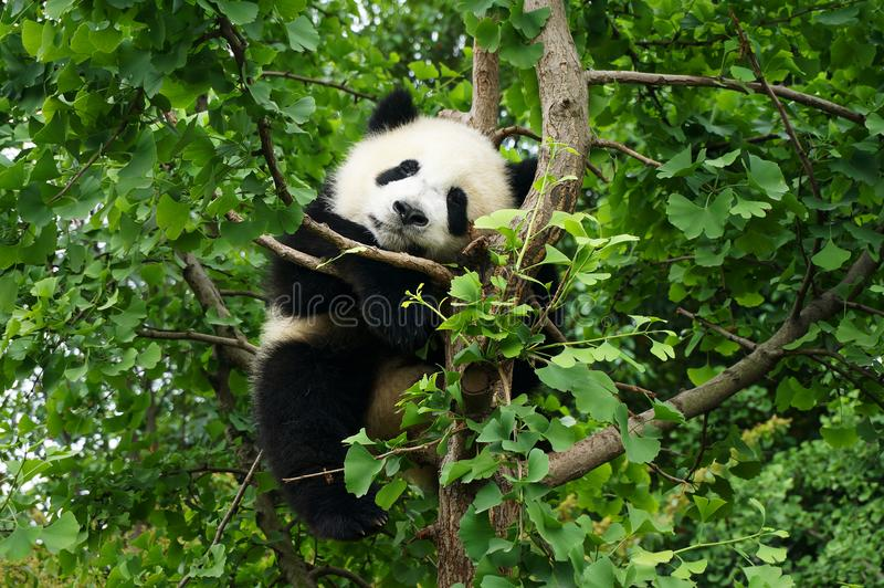 Young panda waiting in a tree. Young panda climbing in a tree royalty free stock images