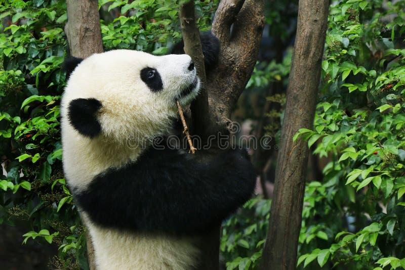 Young panda eating bamboo. Young panda climbing in a tree stock images