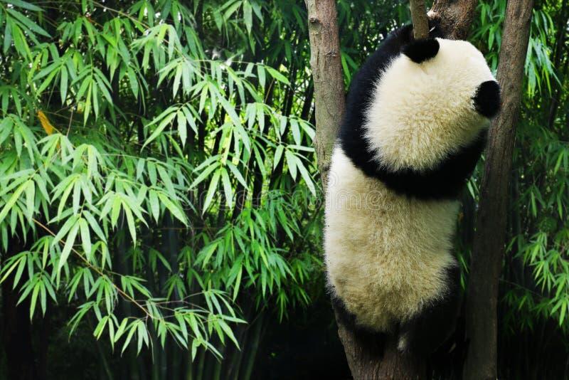 Young panda eating bamboo. Young panda climbing in a tree royalty free stock photo