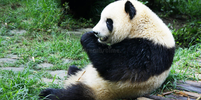 Young panda eating bamboo. Young panda lying on grass eating bamboo stock photos
