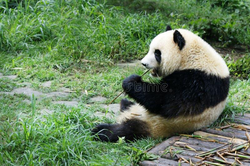 Young panda eating bamboo. Young panda lying on grass eating bamboo royalty free stock photography