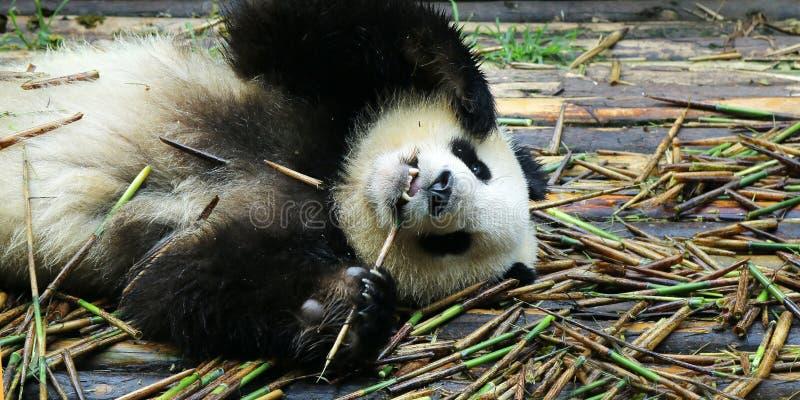 Young panda eating bamboo. Young panda lying on wood floor eating bamboo stock photos