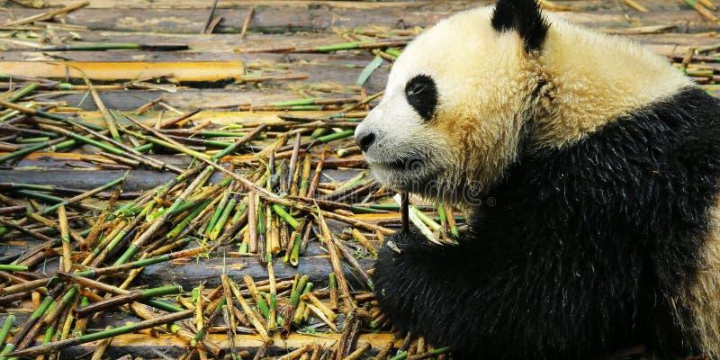 Young panda eating bamboo. Young panda lying on wood floor eating bamboo stock image