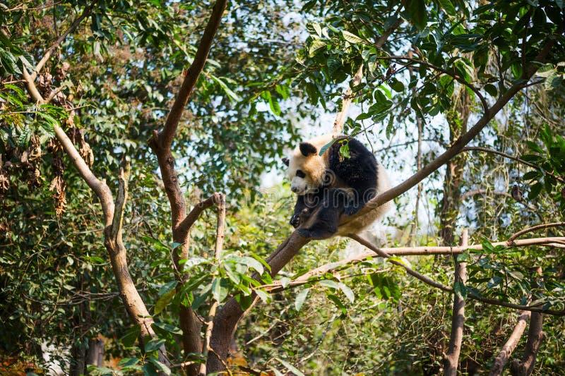 Young panda sleeping in a tree. Chengdu, Sichuan Province, China stock photo