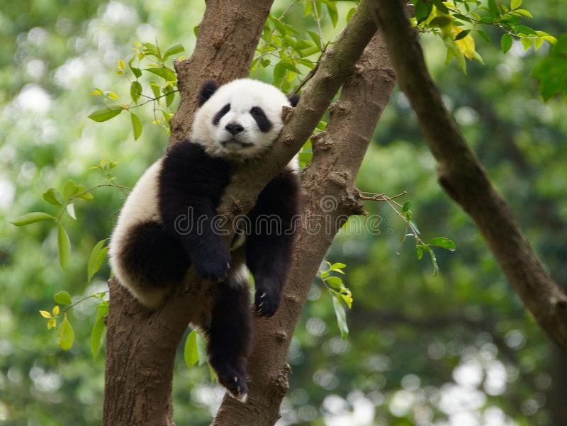 Young Panda Sleeping In A Tree stock photos