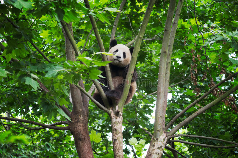 Young panda in a tree. Chengdu , China royalty free stock photography