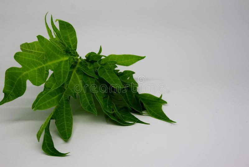 Young papaya leaves in photos with a white background, stock images