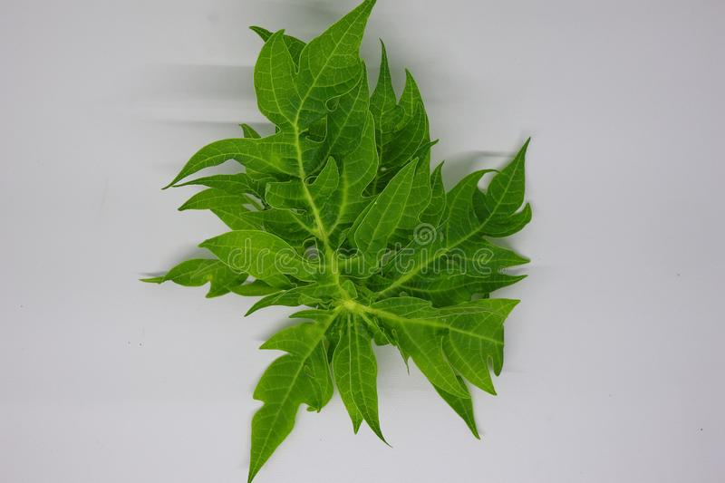 Young papaya leaves in photos with a white background, stock photography