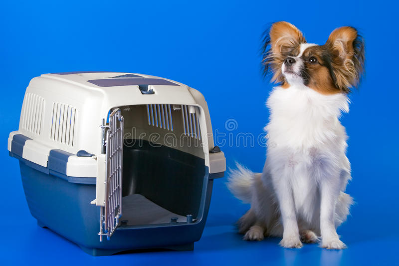 Download Young papillon stock photo. Image of plastic, door, fluffy - 11005584