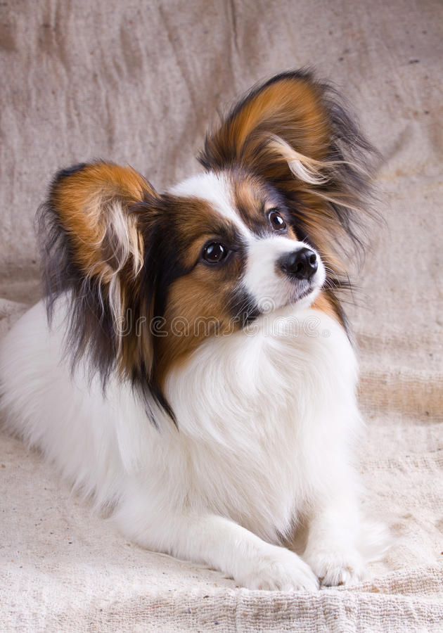 Download Young papillon stock photo. Image of eyes, domestic, animal - 9443444